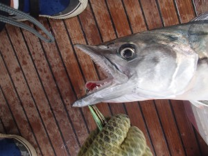 Spanish Mackerel - very sharp teeth